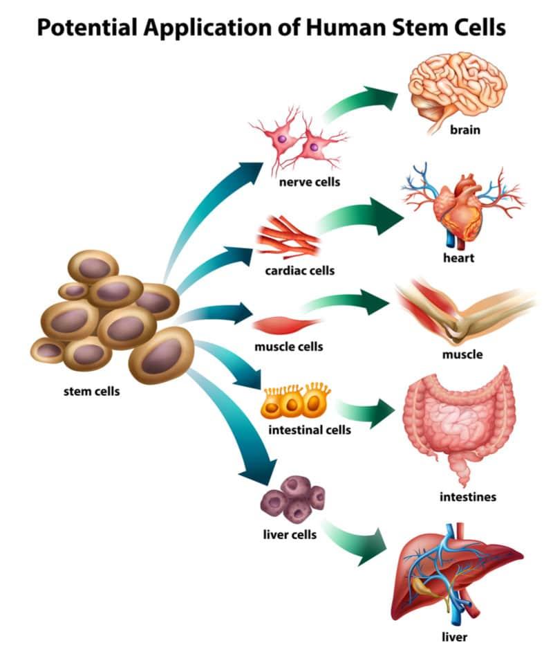 התמיינות תאי גזע בגוף האדם