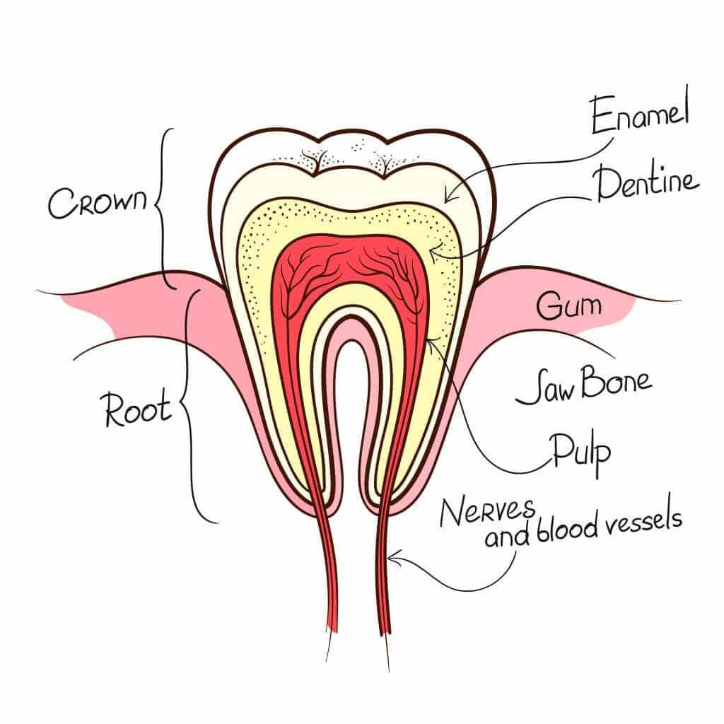 שורש העצם מעוגן אל תוך עצמות הלסת וחשוב מאוד למניעת ספיגת לגוף , implants